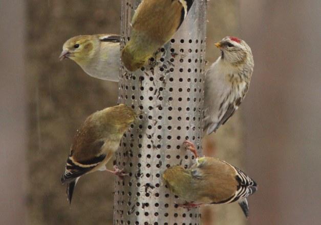 Redpoll, Hoary (exilipes)-IMG_0834 copy