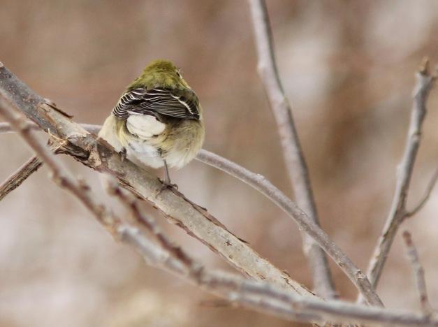 Warbler, Bay-breasted-IMG_0660 copy