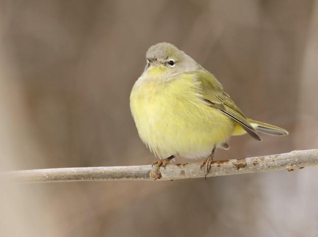 Warbler, Orange-crowned-IMG_0939 copy