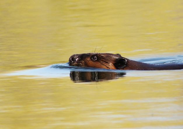 Beaver-IMG_0845 copy