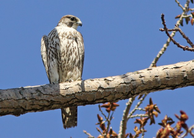 Falcon species (immature)-IMG_1016 copy