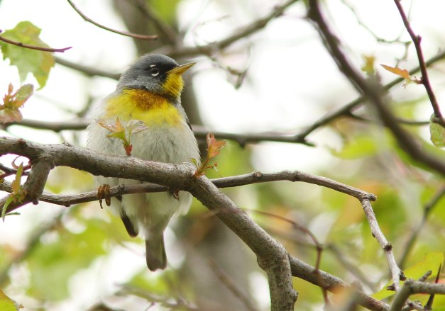 Parula, Northern (male)-IMG_3204 copy